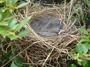 Mockingbird Babies