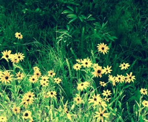 road side daisies