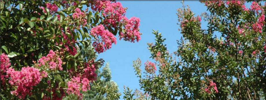 cropped-large-crepe-myrtles.jpg