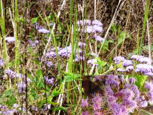 FUZZY ASTER