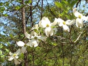 Dogwood Blooming