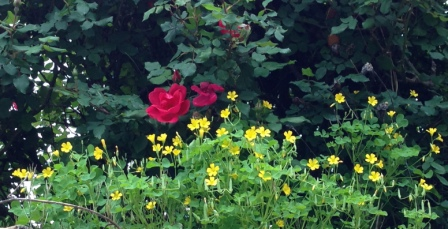 yellow weed and rose