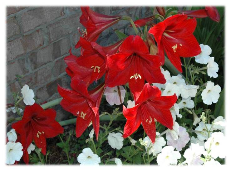 amaryllis and petunias 2