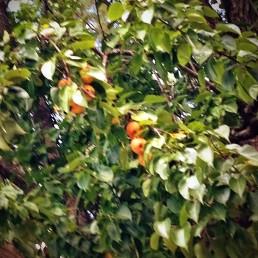 pears2