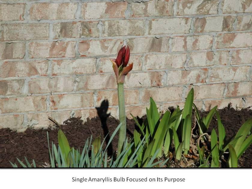 Single Amaryllis Bulb Focused on Its Purpose