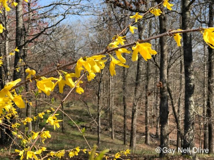 yellowbell